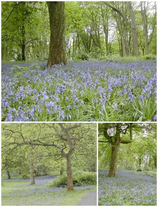 Bluebell May14 Collage
